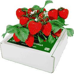 Клубника чудо ягодница